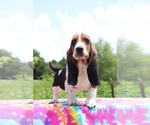 Small Photo #9 Basset Hound Puppy For Sale in UNION CITY, TN, USA