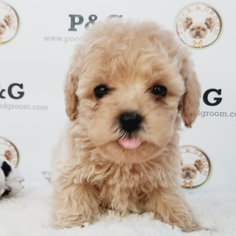 Medium Maltese-Poodle (Toy) Mix