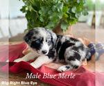 Puppy 1 Border-Aussie