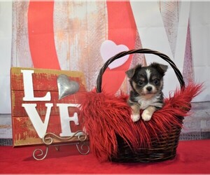 Chihuahua Puppy for sale in HAMPTON, VA, USA