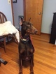 Doberman Pinscher Puppy For Sale in MINOA, NY
