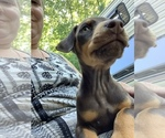 Small #10 Doberman Pinscher