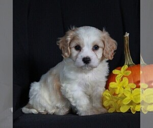 Cavachon Puppy for sale in NARVON, PA, USA