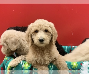 Poodle (Standard) Puppy for Sale in WILSONVILLE, Oregon USA