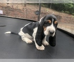 Small Photo #12 Basset Hound Puppy For Sale in DALTON, GA, USA
