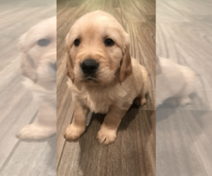 Golden Retriever Puppy for Sale in PERRIS, California USA