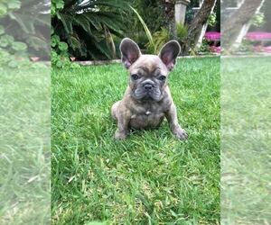 French Bulldog Puppy for Sale in WHITTIER, California USA