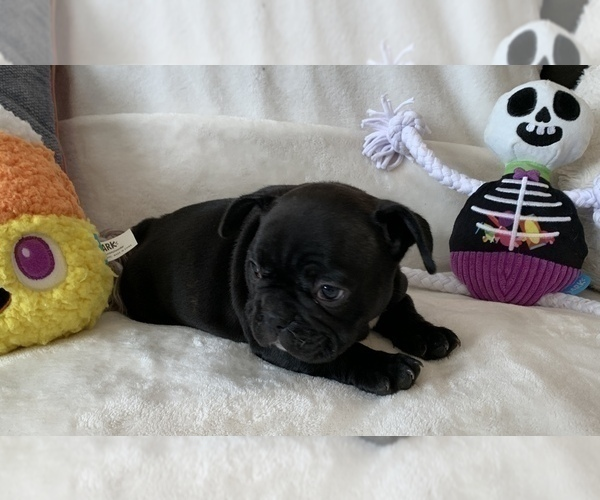 Medium Photo #3 French Bulldog Puppy For Sale in JOHNS ISLAND, SC, USA