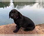 Puppy 6 Labrador Retriever