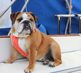 Red AKC Registered Champ line English Bulldog