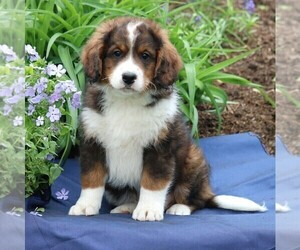 Miniature Bernedoodle Puppy for sale in GORDONVILLE, PA, USA