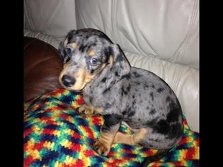 View Ad Dachshund Puppy For Sale Near Virginia Nellysford Usa