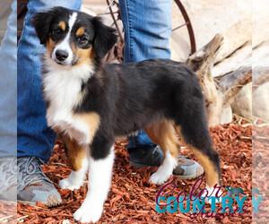 Miniature Australian Shepherd Puppy for sale in CEDAR CITY, UT, USA