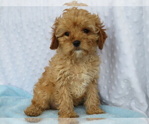 Cavapoo Puppy for sale in SHILOH, OH, USA