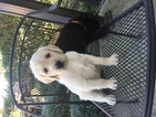 Labradoodle Puppy For Sale in JACKSONVILLE, Florida,