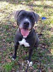 Bella Donna - Pit Bull Terrier / Catahoula Leopard Dog / Mixed (short coat) Dog For Adoption