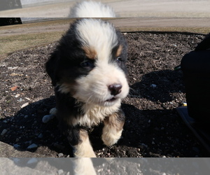 Bernese Mountain Dog Puppy for sale in CHICAGO, IL, USA