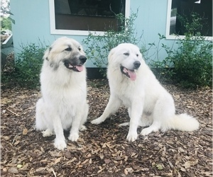 Great Pyrenees Puppy for sale in PLANT CITY, FL, USA