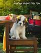 Saint Bernard Puppy For Sale in POWELL, TN,