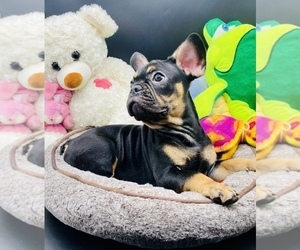 French Bulldog Puppy for Sale in BELLVILLE, Texas USA