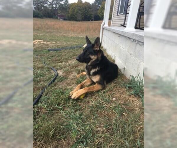 Medium Photo #1 German Shepherd Dog Puppy For Sale in ANDERSONVILLE, TN, USA