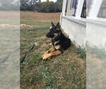 Small Photo #1 German Shepherd Dog Puppy For Sale in ANDERSONVILLE, TN, USA