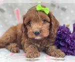 Small #10 Cocker Spaniel-Poodle (Miniature) Mix