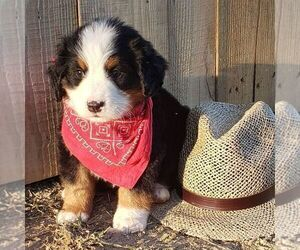 Bernese Mountain Dog Puppy for sale in KUTZTOWN, PA, USA