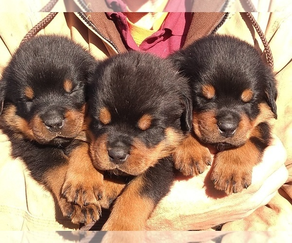 View Ad: Rottweiler Litter of Puppies for Sale near France