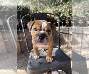 English Bulldogge Puppy for sale in RANCHO CALIFORNIA, CA, USA