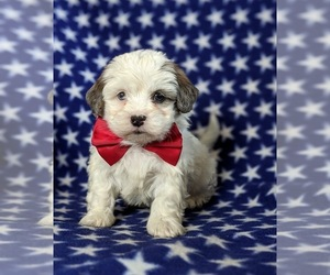 Lhasa-Poo Dog for Adoption in LINCOLN UNIV, Pennsylvania USA