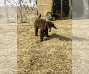Poodle (Standard) Puppy for sale in HAGER CITY, WI, USA