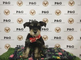 Schnauzer (Miniature) Puppy For Sale in TEMPLE CITY, CA