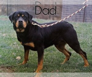 Father of the Rottweiler puppies born on 02/12/2021