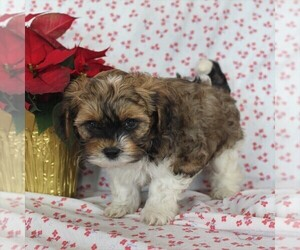 Havashu-Poodle (Miniature) Mix Puppy for sale in QUARRYVILLE, PA, USA
