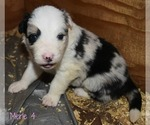 Puppy 7 Border Collie
