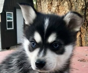 Alaskan Klee Kai Puppy for Sale in AUMSVILLE, Oregon USA