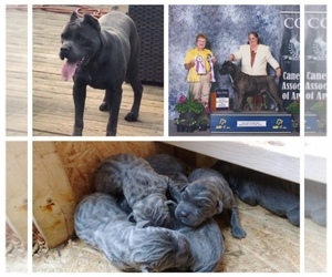 Cane Corso Puppy for sale in COLUMBIA, SC, USA