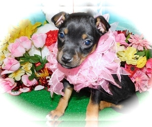 Minnie Jack Puppy for Sale in HAMMOND, Indiana USA