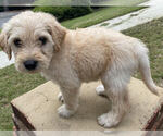 Small Photo #1 Labradoodle Puppy For Sale in CHELSEA, AL, USA