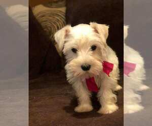 Schnauzer (Miniature) Puppy for Sale in HOUSTON, Texas USA