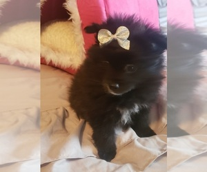 Pomeranian Puppy for Sale in OTTAWA, Ohio USA