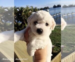 Bichon Frise Puppies for Sale near Pembroke Pines, Florida