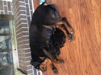 Rottweiler Puppy For Sale in LUMBERTON, NC