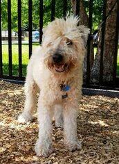 Soft Coat Wheaton Terrier to Adopti in Easton PA