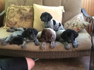 German Shorthaired Pointer Puppy For Sale in LAKEVILLE, MA