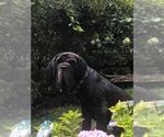 Small #10 Neapolitan Mastiff