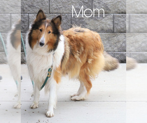 Mother of the Collie puppies born on 02/24/2021