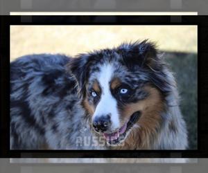 Father of the Australian Shepherd puppies born on 02/29/2020