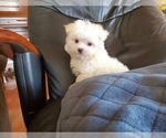Small Photo #2 Maltese Puppy For Sale in SANTA CLARITA, CA, USA
